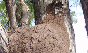Apperance of termite nest
